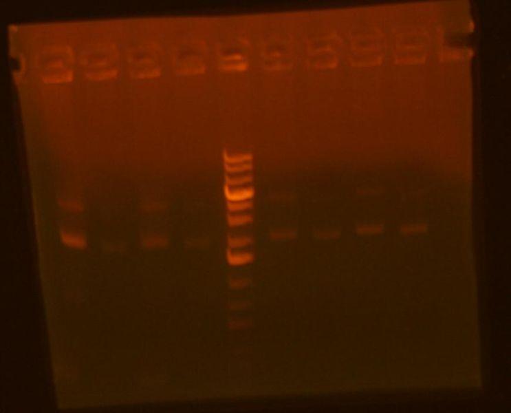 File:MV fliD PCRs.jpg