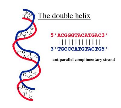 DoubleHelix.PNG