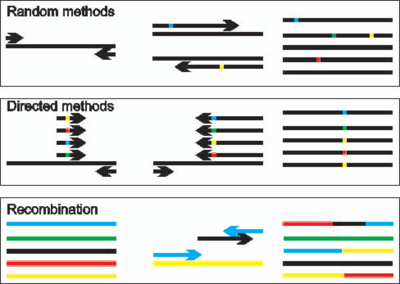 Overview of methods for the randomization of DNA sequences. Random methods introduce changes at positions throughout the gene sequence. Directed methods will randomize only a specific position or positions. Recombination methods bring existing sequence diversity, either from point mutants or from different parental DNA sequences, together in novel combinations.
