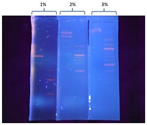 Figure 1. Bands separation in 1 kbp and 100 bps DNA ladder are shown in different agarose gel concentration. Gels are illuminated under UV light condition shortly after 20 minutes running time.