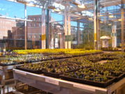 Growouts in Duke greenhouse