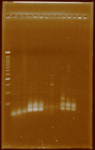 Dramirez PCR HydA Taq primercombination.jpg