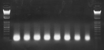 File:Bioprime labeled DNA.jpg