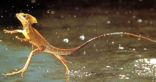 Jesus-lizard-running-on-water-basilisk.jpg