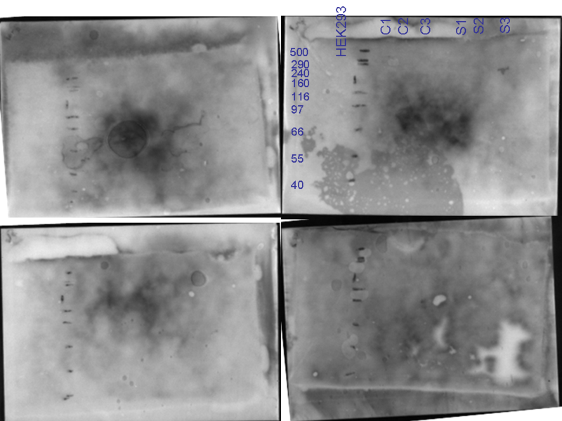 File:22062010 Ponceau staining cAMP precipitation.png