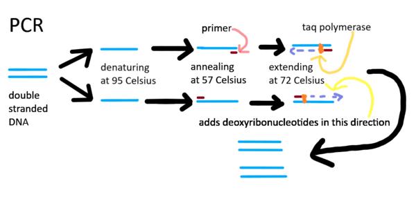 PCR FINSHEDDDDDD.png