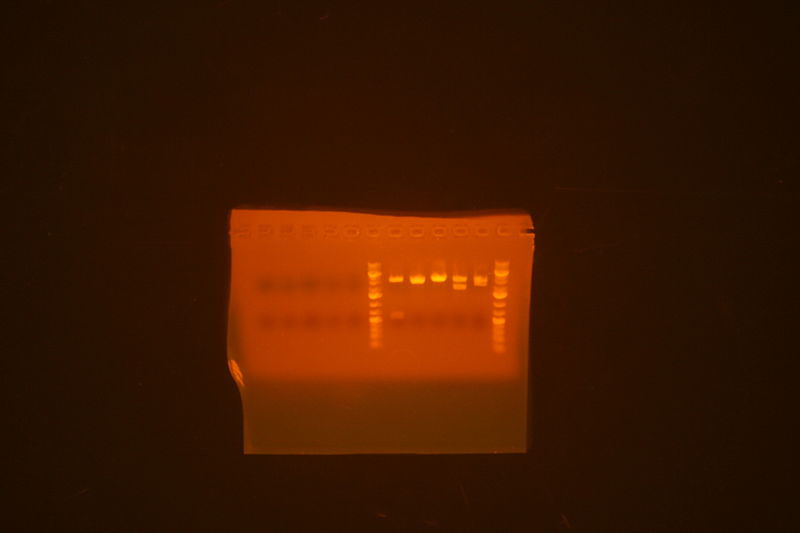 Image:Leucine zipper parts strange DNA-less miniprep and miniprep sent for sequencing.jpg