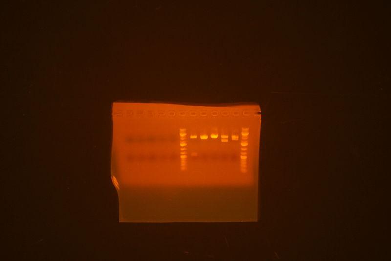 File:Leucine zipper parts strange DNA-less miniprep and miniprep sent for sequencing.jpg