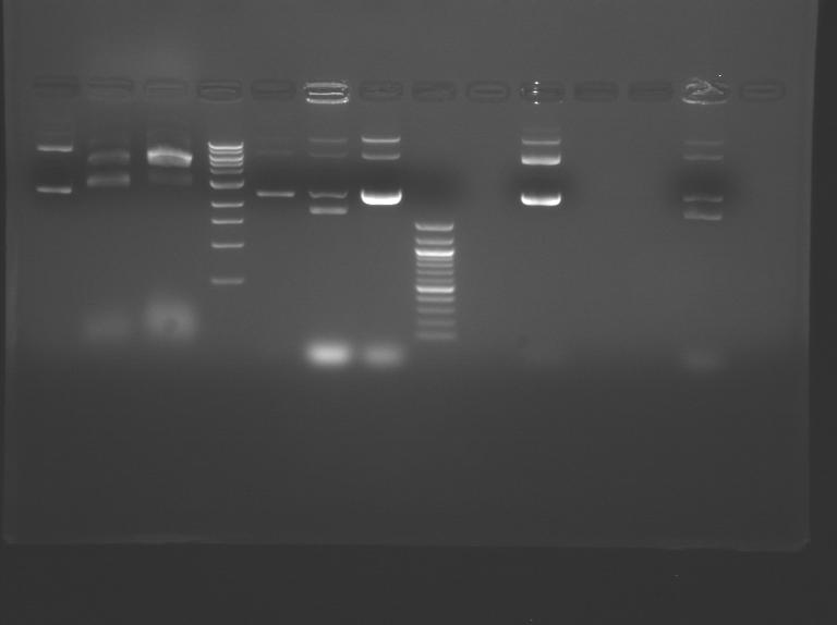 File:S10 M2D5 TR gel-Red.jpg