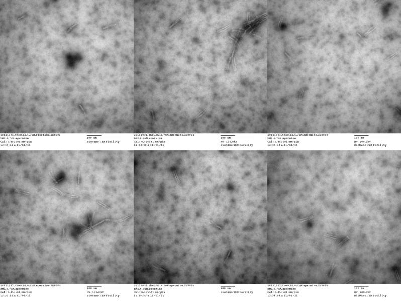 File:20111031 theU B2 6.7uM spermine 2E8.png