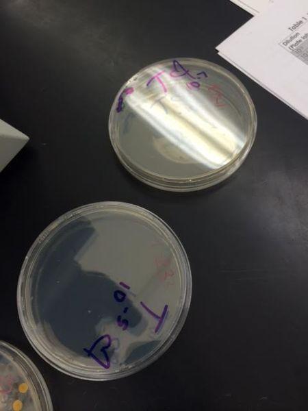 File:Bacteria 3.png