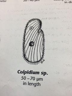 Colpidium-Alison.jpg