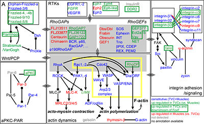 Fig.2. Regulated effector genes and cellular processes.