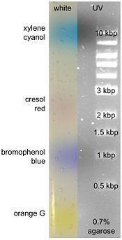 0.7% agarose gel with 1kbp ladder in UV and white light showing different dyes