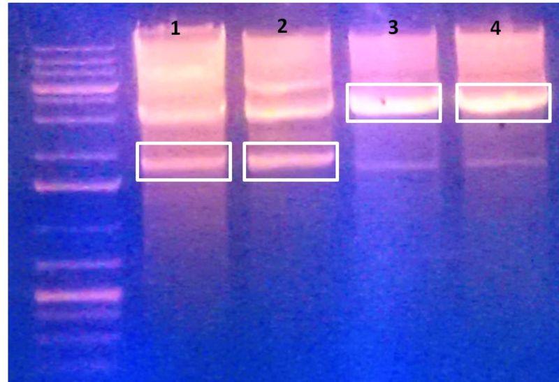 File:KAH201-KAH182 Ligation.jpg