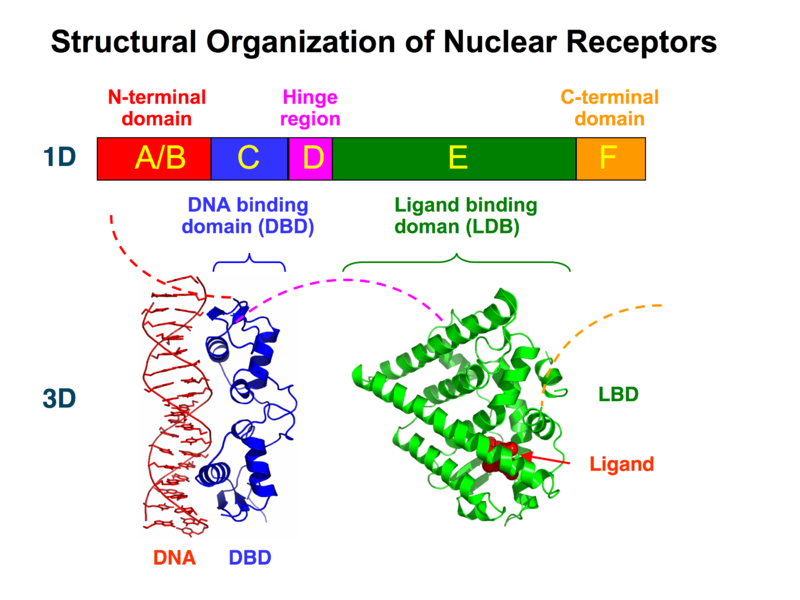 File:Nuclear Receptor Structure.png