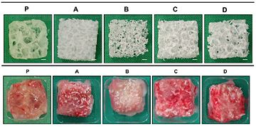 Porous scaffolds produced via SLM before implantation (top) and 2 months after implantation (bottom) [23]