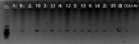 Image:19Feb10 LCO HCO PCR.tif
