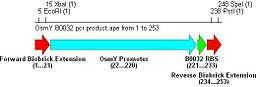 Osmy b0032 pcr prod.JPG