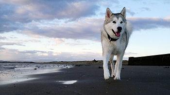 Sunset beach husky.jpg