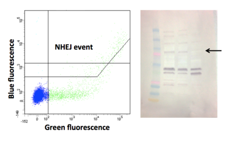 Module 2 Sample Data. The two primary techniques that you will learn to carry out and interpret in this module are flow cytometry (left) and Western blotting (right). We will use flow cytometry to quantify DNA repair events, in concert with a two color co-transfection assay. We will use Western blotting to evaluate DNA repair protein levels; the sample data shows that one of the cell lines is deficient in a particular NHEJ repair protein.