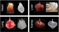 Different organs decellurized.  Probably from mice.  Source: miromatrix.com