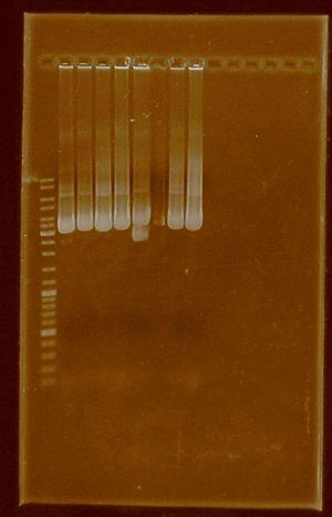 DRamirez PlasmidExtraction j04450-E0430.JPG