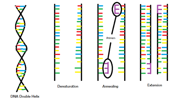 Pictorial Representation of PCR Including the Three Main Steps