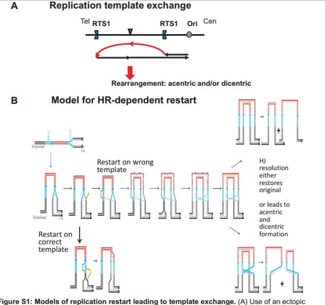 File:Recomb replication.png