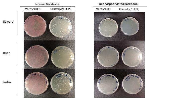 Colony normal dephosphorylated vector.jpg