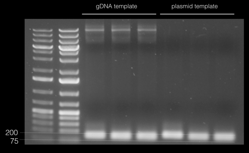 File:15.02.19 gel of qPCR primers.png