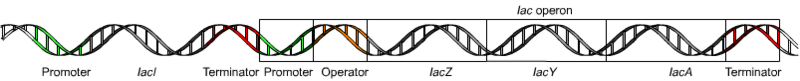 File:Lac operon1.png