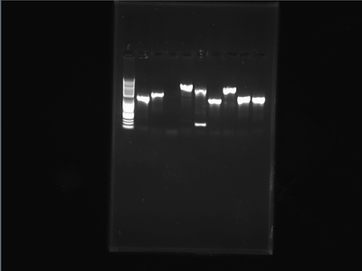 Analytical Gel PCR 5-6-14.jpg