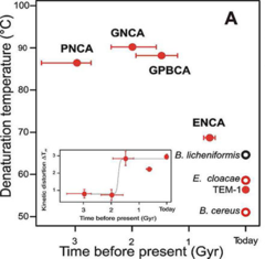 Comparison of the denaturation temperatures of several reconstructed β lactamases compared to extant versions. PNCA is the last common ancestor (CA) of gram-positive and gram-negative bacteria. GNCA is the CA of the gram-negative bacteria. GPBCA is the CA of Gammaproteobacteria. ENCA is the CA of Enterobacteria