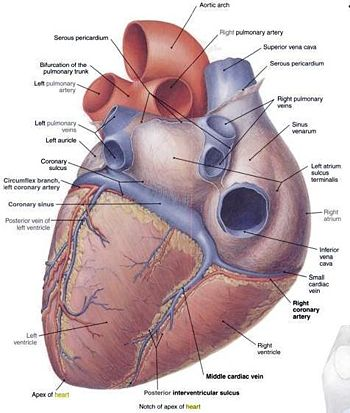 Lab 8 vertebrate circulation and respiration openwetware ventral view of heart s11g ccuart Choice Image