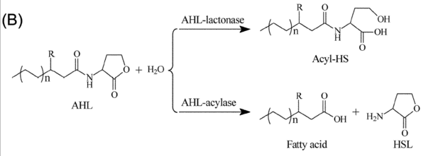 Figure 3.  The degradation action of AHL-lactonase and AHL-acyclase, two different methods of quorum quenching[2]
