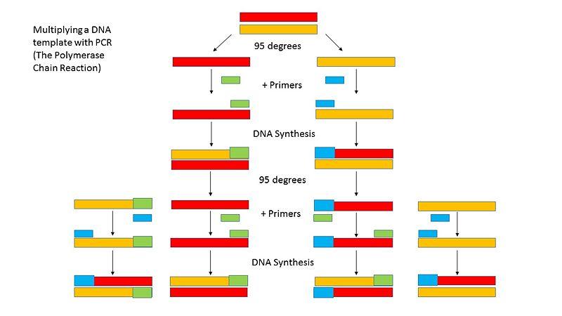 File:PCRdiagram.JPG