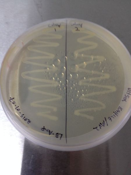 File:2015-01-08 DH5-alpha KAH126-MV2 colonies.jpg