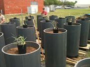 Setting up containers for drought experiments on P. virgatum at the Pickle Research Center in Austin, TX