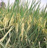 Riceplant.jpg