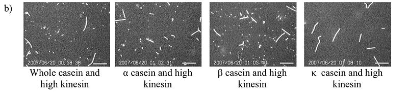 File:The role of casein in supporting the operation of surface bound kinesin Figure 3b.jpg