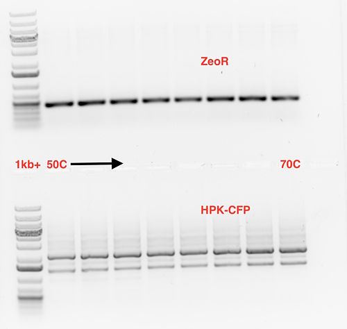 2015-10-30 ZeoR CFP phusion PCR.jpg