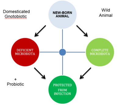Protecting a Gnotobiotic Animal from Disease by Reestablishing the Microbiota With The Use of a  Probiotic. Modified from Fuller's 1989 article: Probiotics in man and animals.