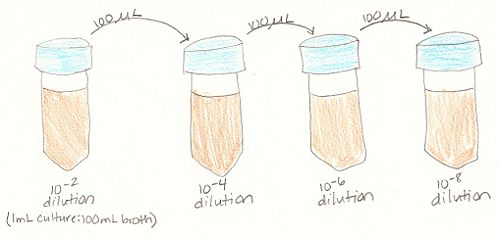 The above image is a diagram of how the serial dilutions of the Hay infusion culture were prepared. 100µL of the culture was added to 100mL sterile broth in the first test tube. Then, as the first arrow in the diagram shows, 100µL of this solution was added to 100mL sterile broth in the next test tube. This process continued until the final dilution. The serial dilutions prepared were 10^(-2), 10^(-4), 10^(-6), and 10^(-8), in that order.