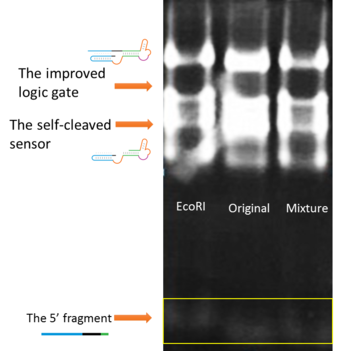 Figure 24. The verification of the optimized logic gate's self-cleavage under different conditions. Lane 1: EcoRI buffer, Lane 2: the original buffer, Lane 3: EcoRI and original buffer mixture. (From BIOMOD Team Tianjin 2012.)