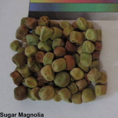 -TM- Sugar Magnolia Seed.jpg