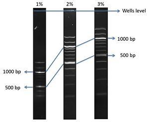 100bp Ladder Bing