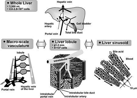 LiverVascularization.jpg