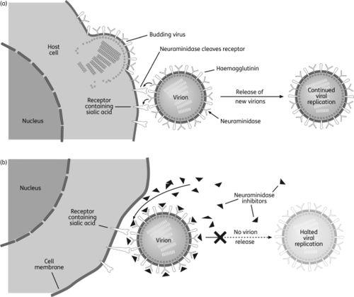 Influenza-replication.jpg