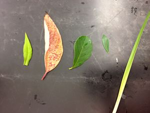 The above image is of all five leaf samples from Transect 5. The leaves are in numerical order, with leaf sample #1 on the far left and leaf sample #5 on the far right.